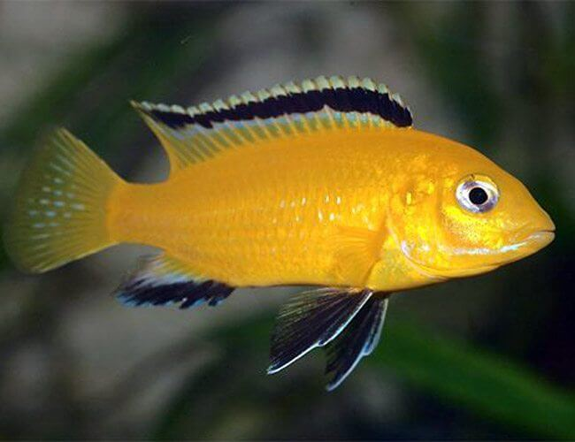 Electric Yellow Cichlid pic