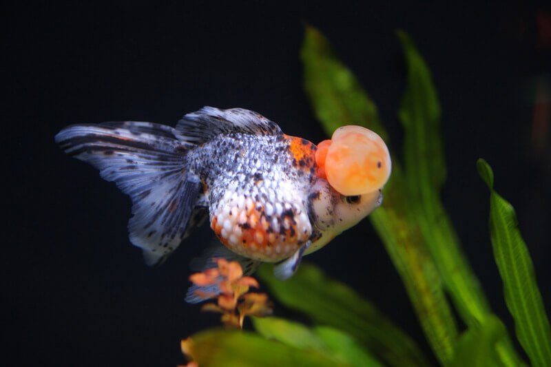 Calico Crown Pearlscale Goldfish 1